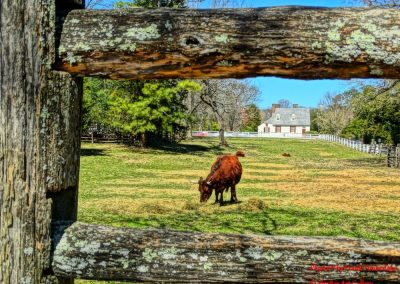 Colonial Cattle Grazing