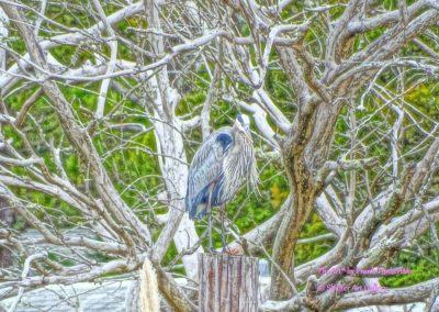 Great Blue Heron in the Purr Atlantic